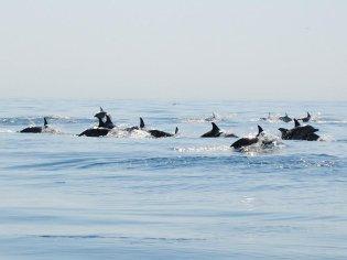 Dolfijnen spotten Seabookings Portugal watersportactiviteiten en boottochten Portugal