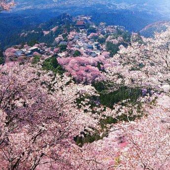 In gesprek met Nicki Yoshihara van Tokiotours Kersenbloesem